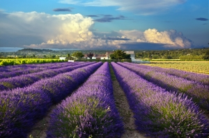 The lavender fields of Provence.