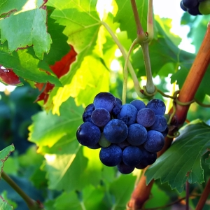 Provence grapes by imapix